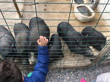 Jabalies o cerdos? :)