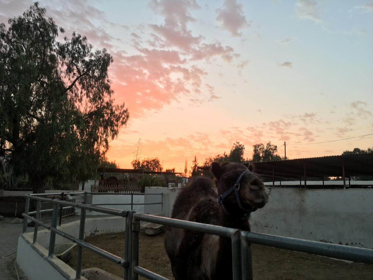 Atardecer en la granja de camellos con niños